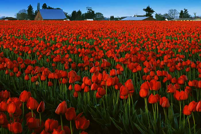 Tulips, Skagit River Valley, Washington # 1231