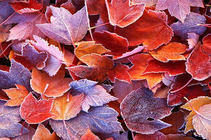 Frosted Maple leaves, Spokane County, Washington # 348
