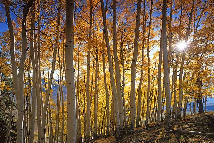 Aspen, Aspen Grove, Gunnison National Forest, Colorado # 4236-h