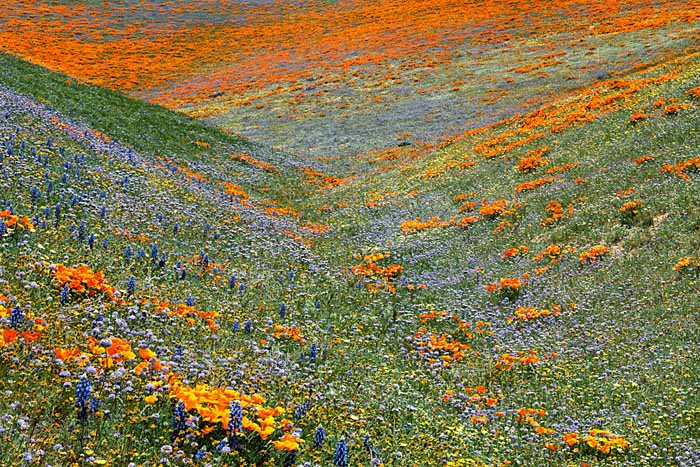 Lupine and Goldfields, Globe Gilia, California Poppies, Tehachapi Mountains, California # 5410-h