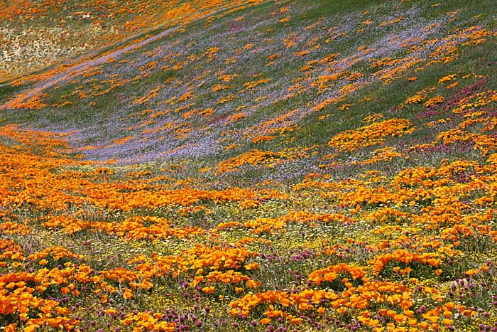 Owl-clover and Globe Gilia, California Poppies, Tehachapi Mountains, California # 5412