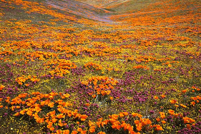 Owl's Clover and Goldfields, California Poppies, Tehachapi Mountains, California # 5414-h