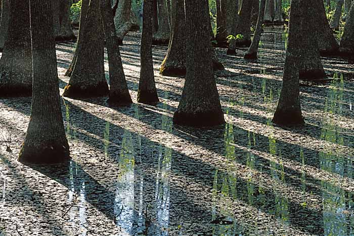 Water Tupelo trees, Mark Twain National Forest, Missouri # 7164h