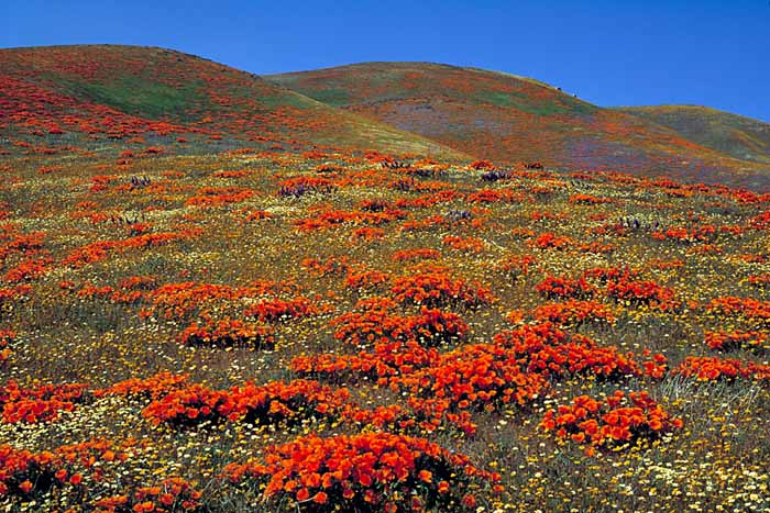 California Poppies, Tehachapi Mountains, California # 0237