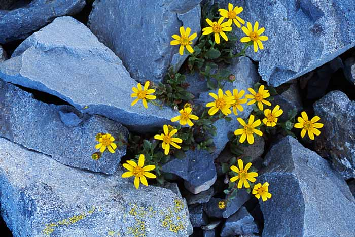 Dwarf Mountain Butterweed, North Cascades National Park, Washington # 111