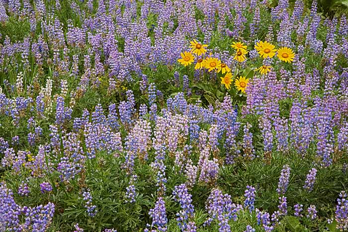Arrowleaf Balsam Root and Lupine, Okanogan National Forest, Washington # 1390