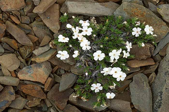 White Phlox, Olympic National Park, Washington # 1407b