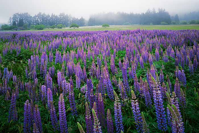 Lupine, Clallam County, Washington # 1648