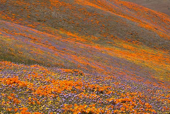 California Poppies, Tehachapi Mountains, California # 238b