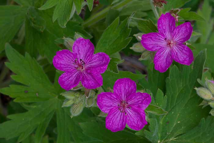 Sticky Geranium, (Geranium viscosissimum), Turnbull National Wildlife Refuge, Washington # 3097