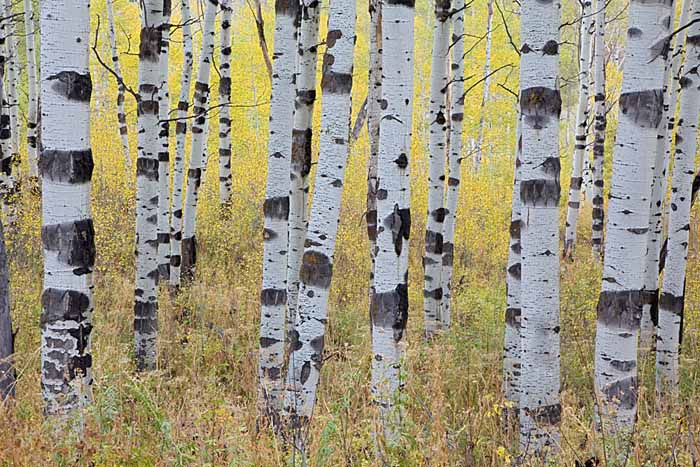 Aspen, Alpine Loop Scenic Byway, Uinta-Wasatch-Cache National Forest, Utah # 4729