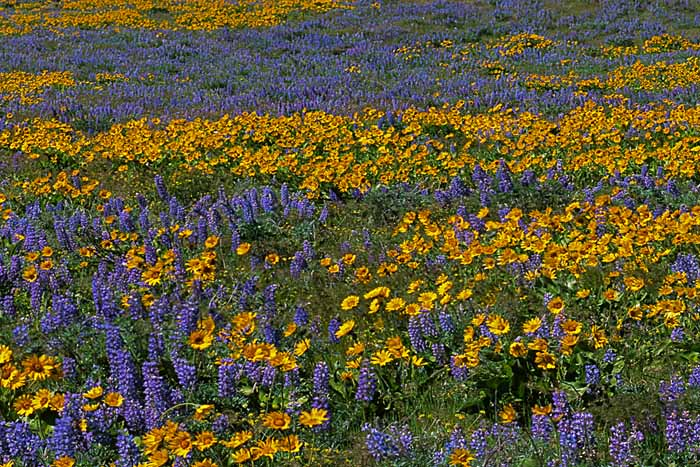 Lupine, Arrowleaf Balsamroot, Columbia Hills State Park, Columbia River Gorge National Scenic Area, Washington # 880b