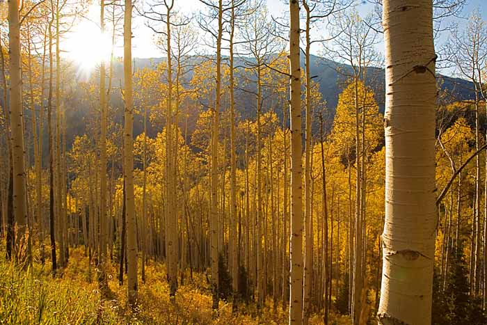 Aspen, White River National Forest, Colorado # 9041
