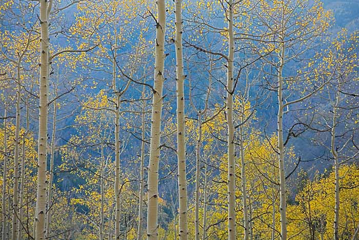 Aspen, White River National Forest, Colorado # 9050