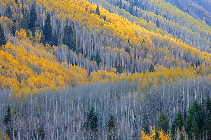 Aspen,White River National Forest, Colorado # 9126