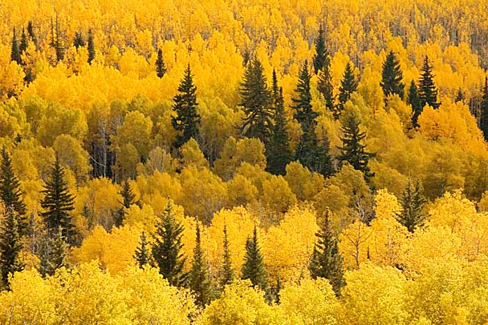 Aspen, White River National Forest, Colorado # 9256b