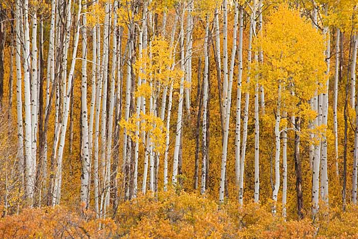 Aspen, White River National Forest, Colorado # 9291