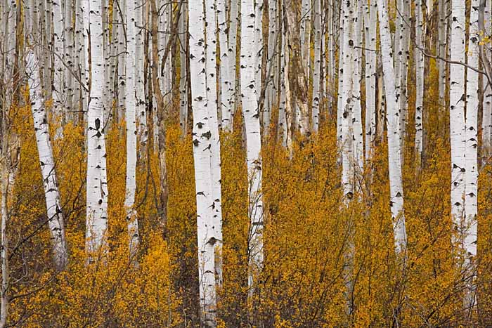 Aspen, Gunnison National Forest, Colorado # 9697