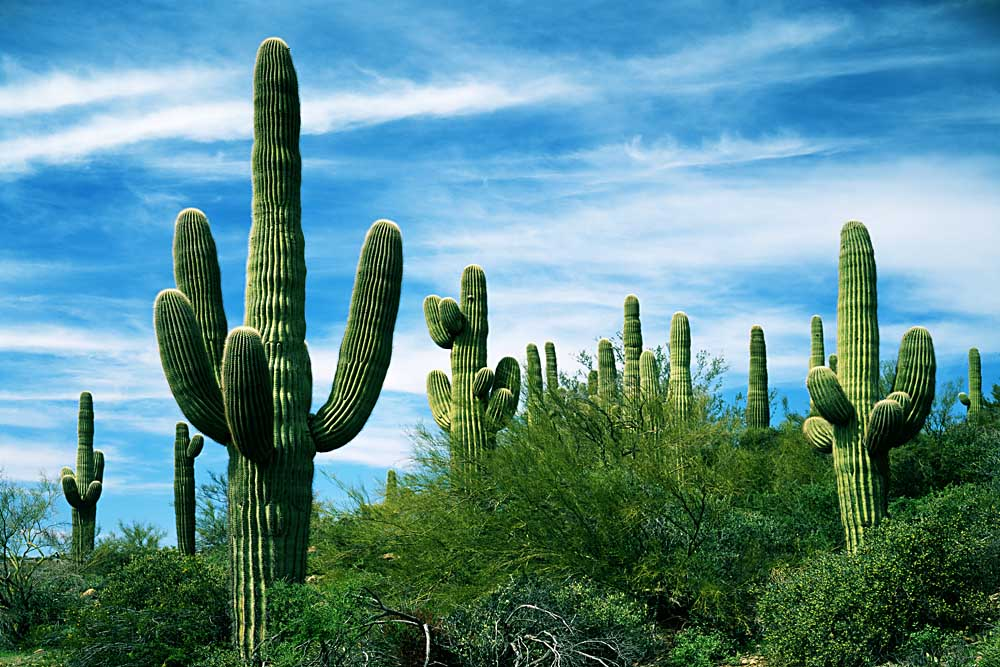 Saguaro cacti, Saguaro National Park, Arizona # 6153
