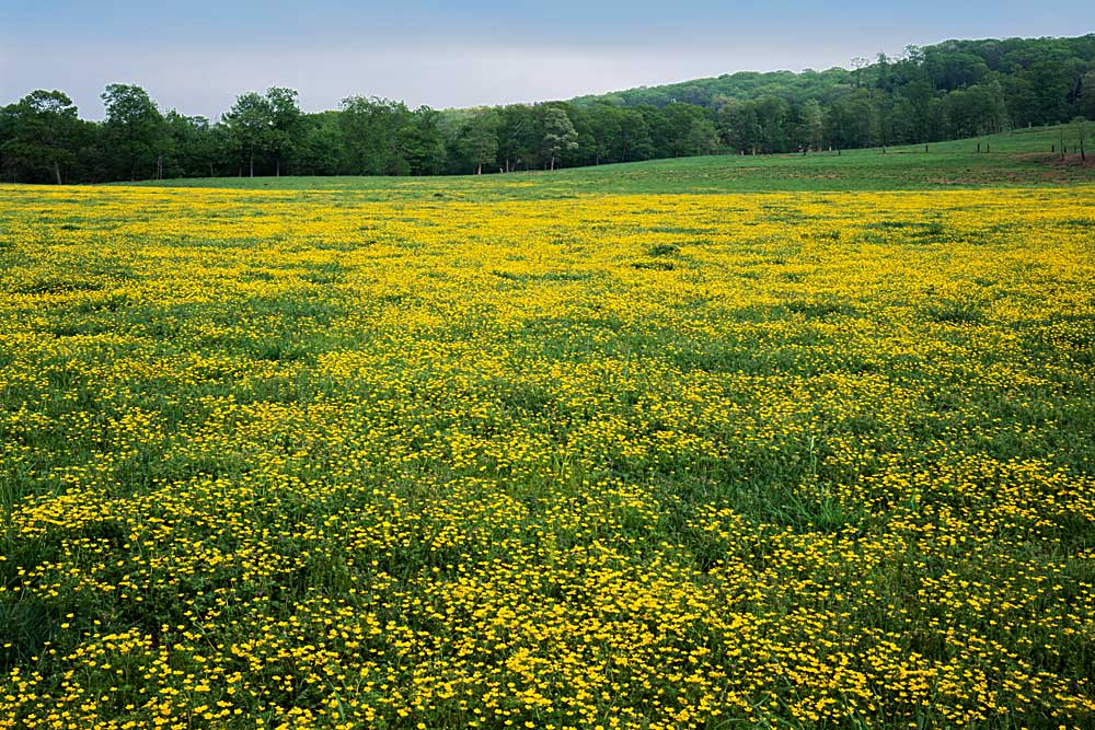 Buttercup field, Pope County, Arkansas # 8440h
