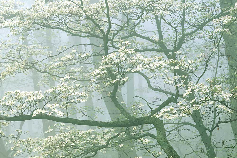 Flowering Dogwood in foggy forest, Shenandoah National Park, Virginia # 9114-h