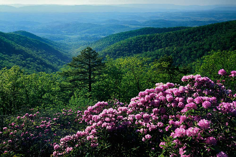 Blue Ridge Mountains Catawba Rhododendron, Blue Ridge Parkway, Virginia # 9118h