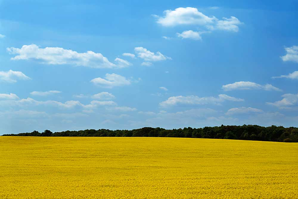 Canola field in bloom, Hanover County, Virginia # 9505
