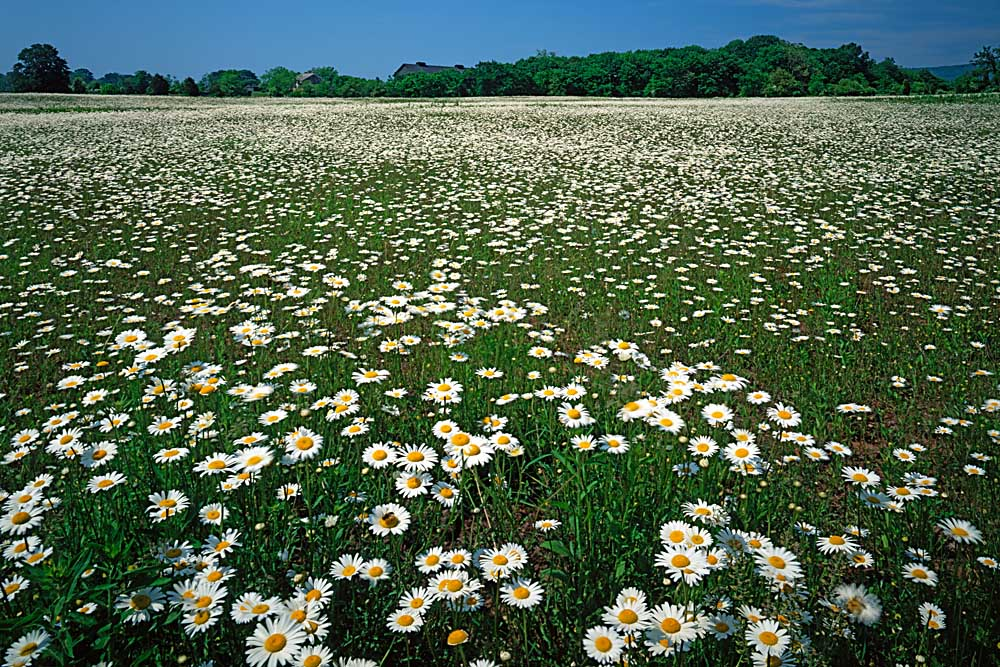 Daisy meadow, Loudoun County, Virginia # 9506
