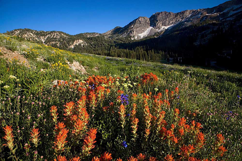 Meadow Wildflowers, Albion Basin, Little Cottonwood Canyon, Uinta-Wasatch-Cache National Forest, Utah # 1639