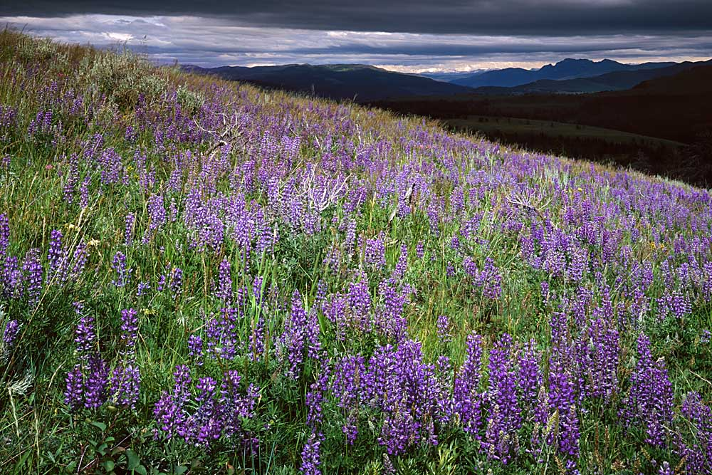 Lupine Meadows, near Mount Washburn, Yellowstone National Park, Wyoming # 4046