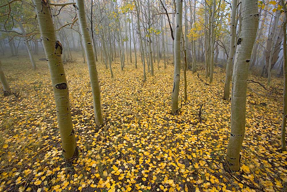 Aspen, Boulder Mountain, Dixie National Forest, Utah # 4957