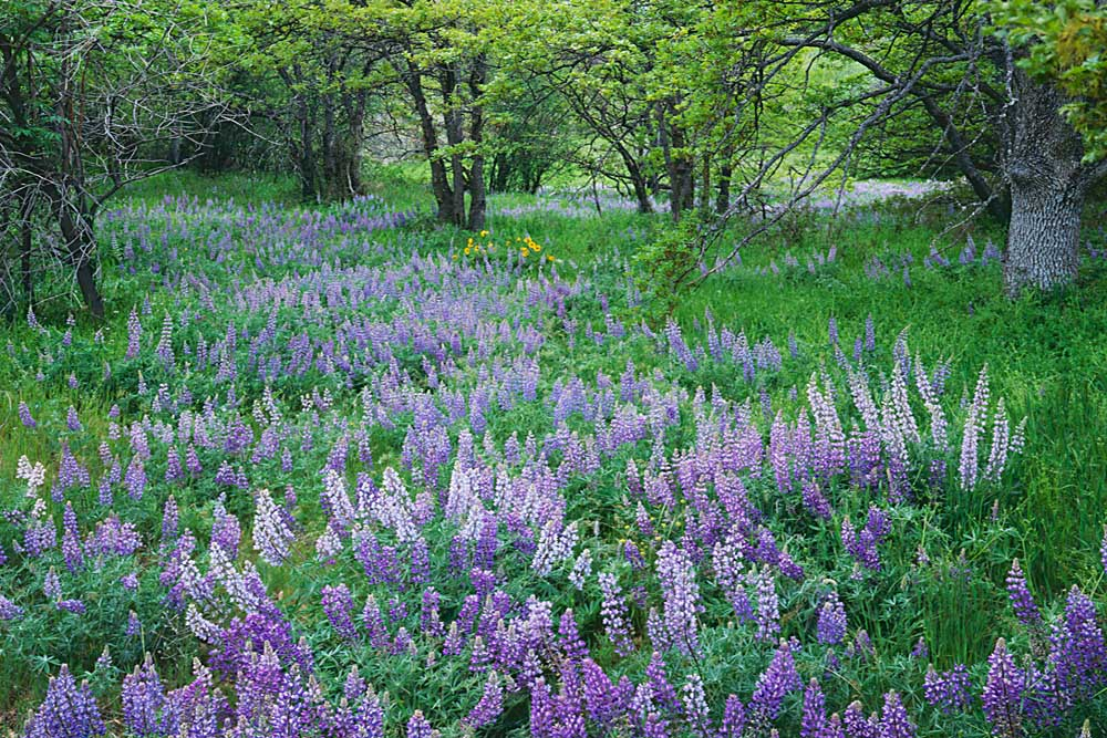 Lupine Meadow and Oregon white oaks, Columbia River Gorge National Scenic Area, Oregon # 5033