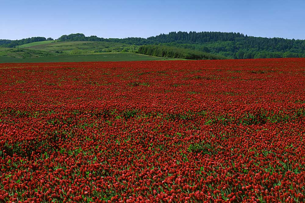 Clover field, Yamhill County, Oregon # 5359