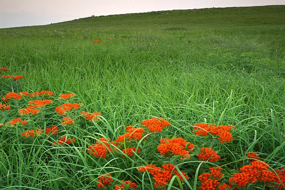 Butterfly weed,Konza Prairie Natural Area, Kansas # 6454