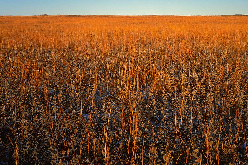 Native grasslands at sunrise, Niawathe Prairie Natural Area, Dade Co., Missouri # 7406