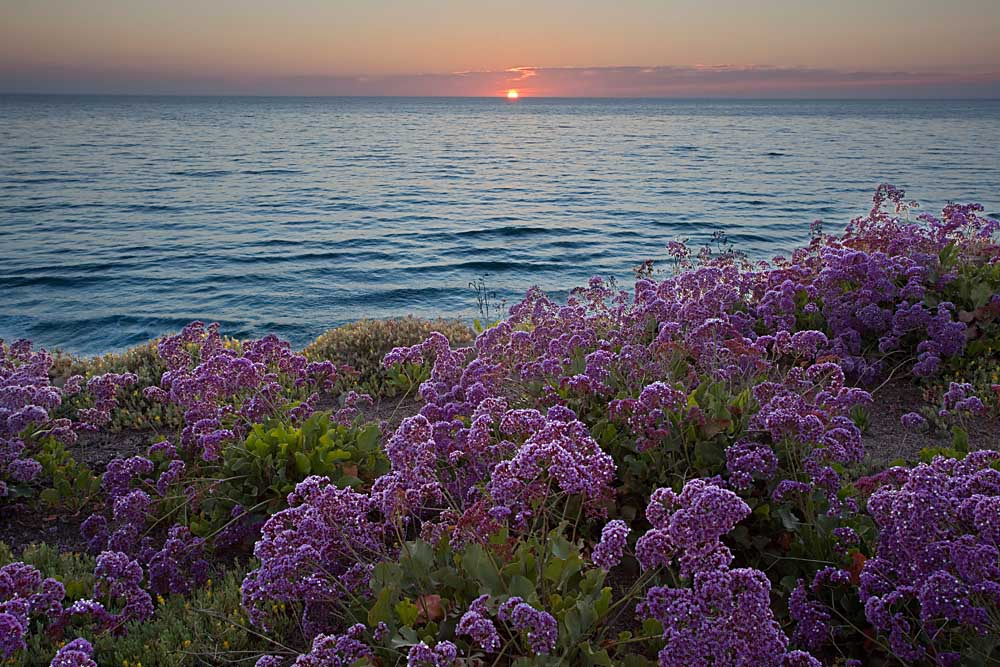 Flowers at sunset, Del Mar Coast, California # 9003