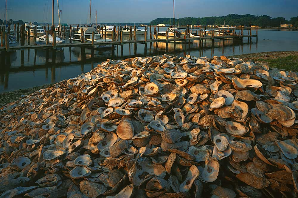 Oyster shells along Monroe Bay, Chesapeake Bay area, Colonial Beach, Virginia # 9740